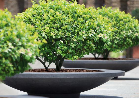 Außergewöhnliche Form – Pflanzschalen mit Kugel-Formgehölzen bepflanzt