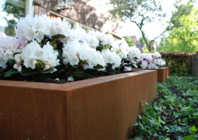 Schattige Angelegenheit – Schneeweiße Rhododendron im Vorgarten